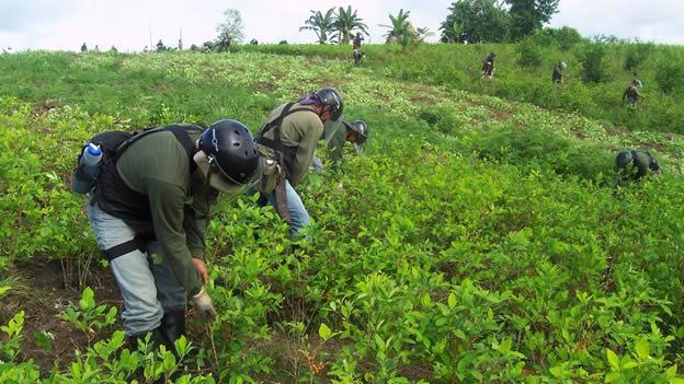 cultivo de hoja de coca